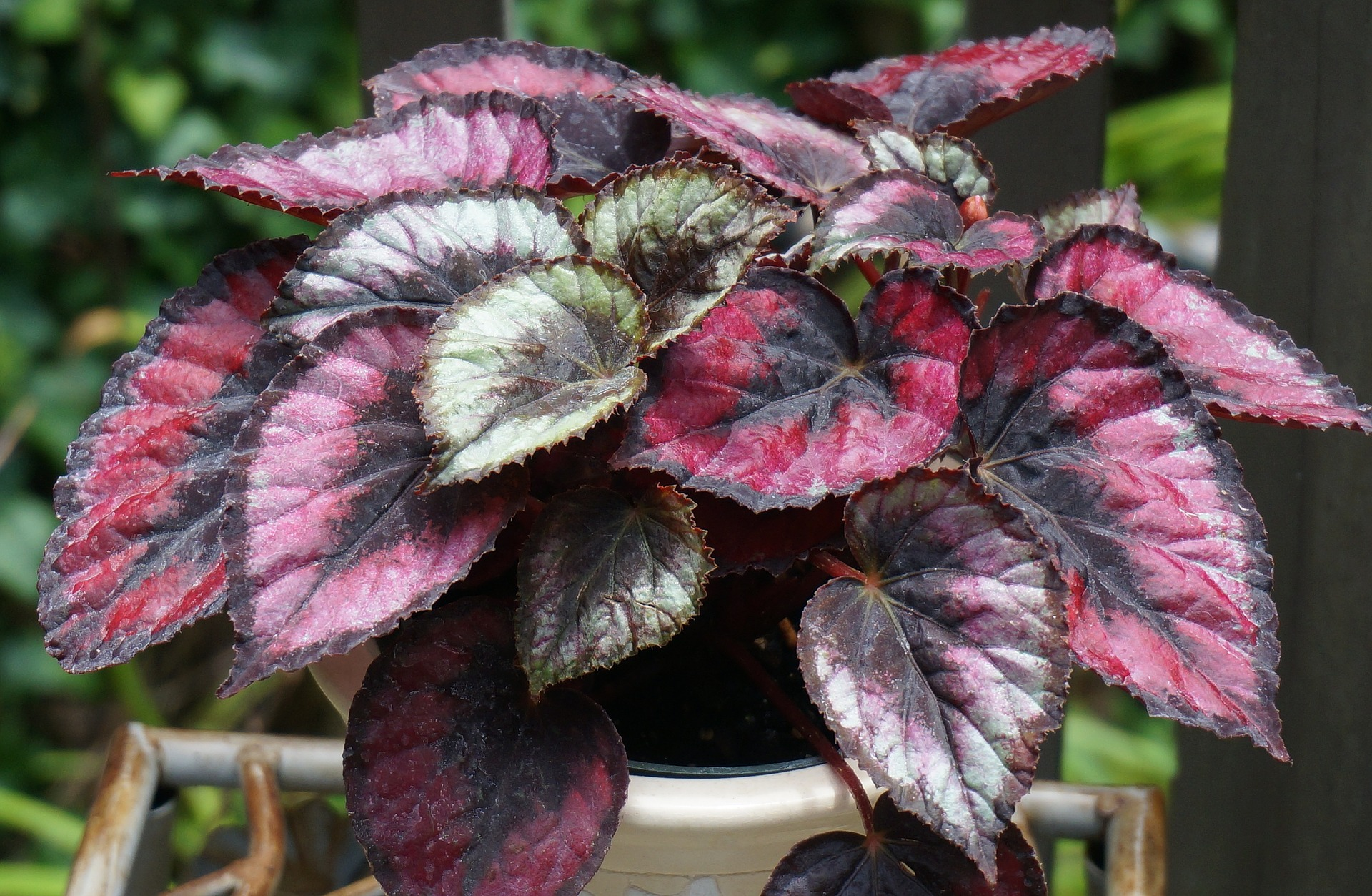 Introduction of Begonia